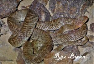Arabian cat snake